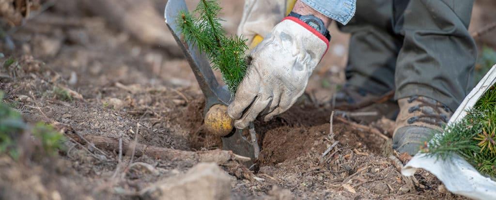 jeune plant de douglas planté par un planteur à la main